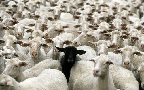 Are We All Just a Bunch of Sheep According to Herman Melville?